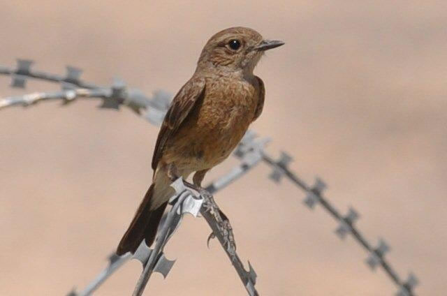 Female Pied Bushchat