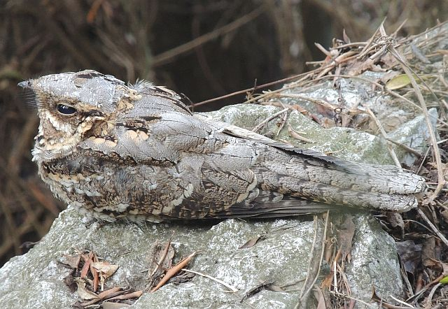 Red-Necked Nightjar from 2013
